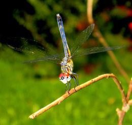 DancingDragonfly