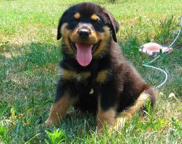 pure breed pup Picture