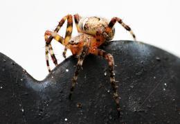 spider56mmbig