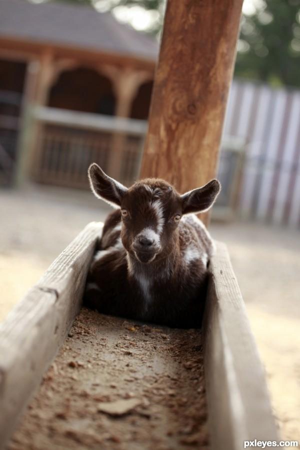 Trough Goat