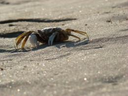 Crab on Sparkling Sand