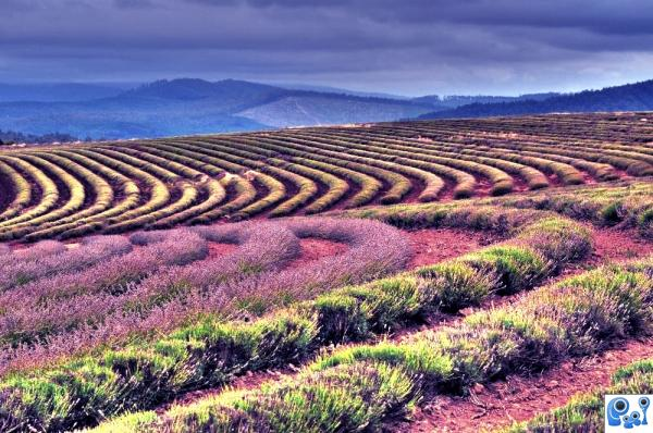 Lavender Fields photoshop picture