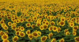 Field of Sunshine