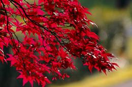 CanadianRedMaple