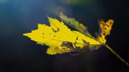 AutumnLeaf101