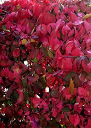 Crimsonleaves