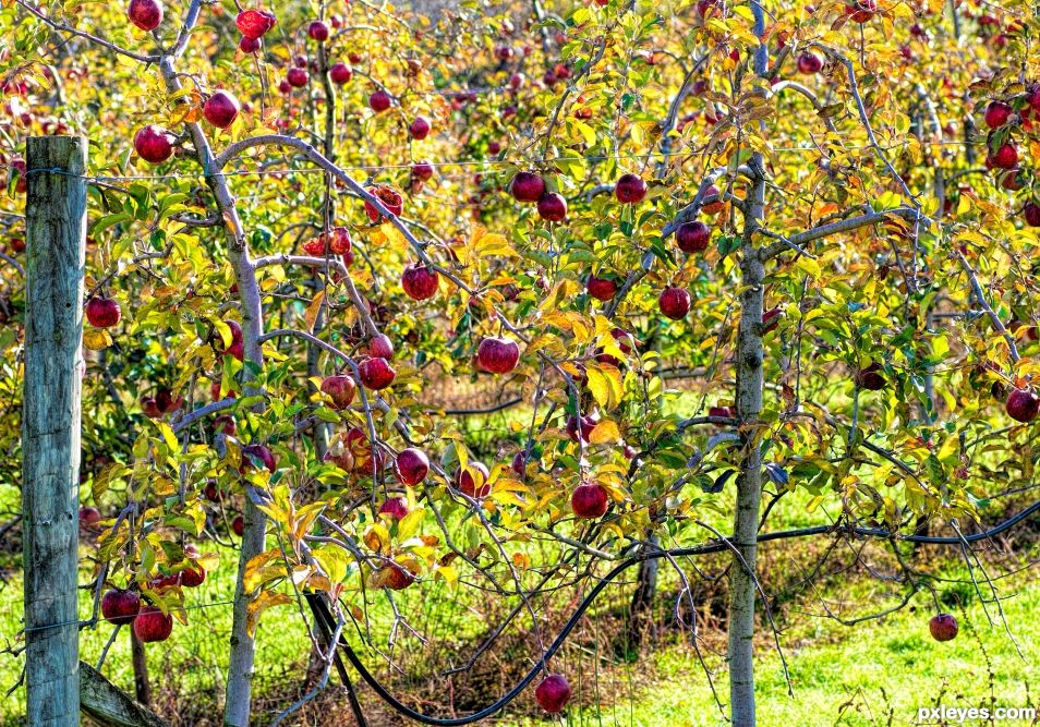 Lovely apples left on the trees
