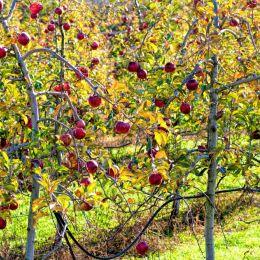 Lovelyapplesleftonthetrees