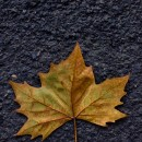 autumn leaf source image
