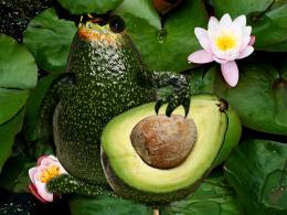 Avacadofrog