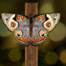 ButterflyFromAxe
