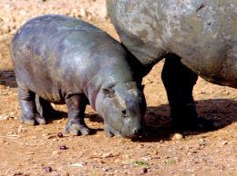 Pygmyhippobaby