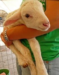 sheepbaby