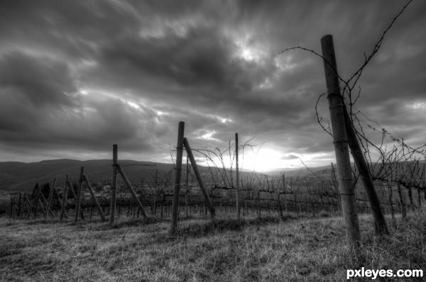 Vineyard in Canneto