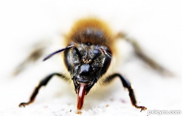 Bee shows tongue