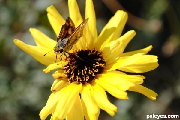 Moth on a Daisy