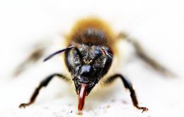 Beeshowstongue