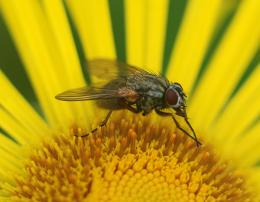 Fly on Yellow flower Picture