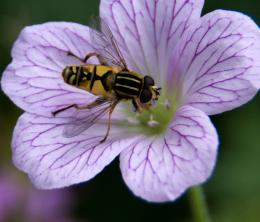 Hoverflyonflower