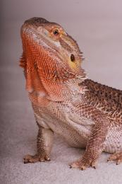 Lounge Lizards Picture