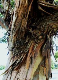 EucalyptusPeel