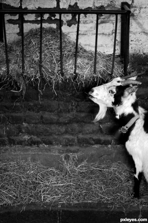 Snoop Goaty goat