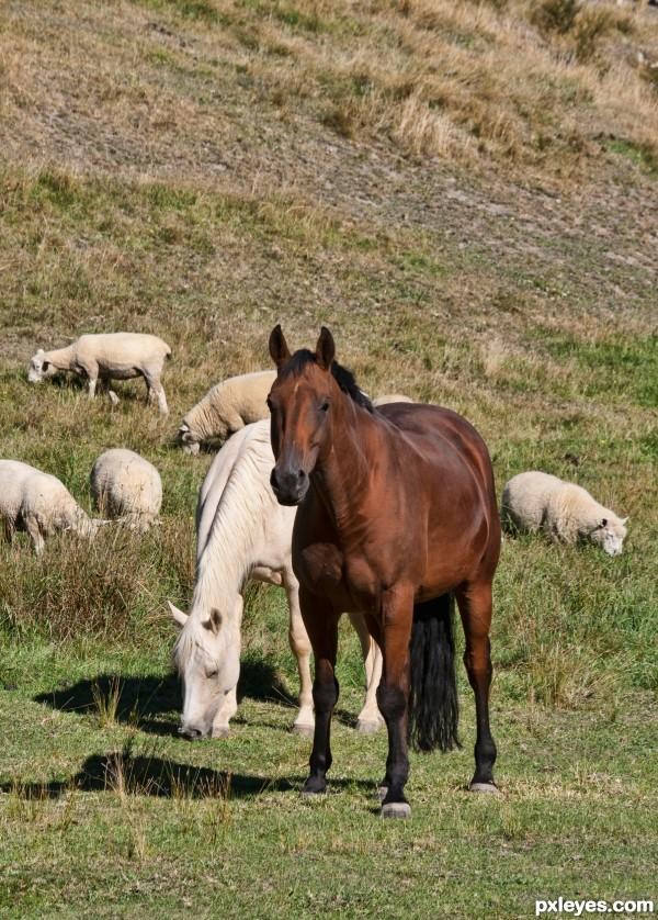Horses and sheep