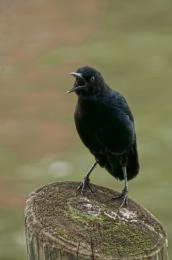 Blackbird1968