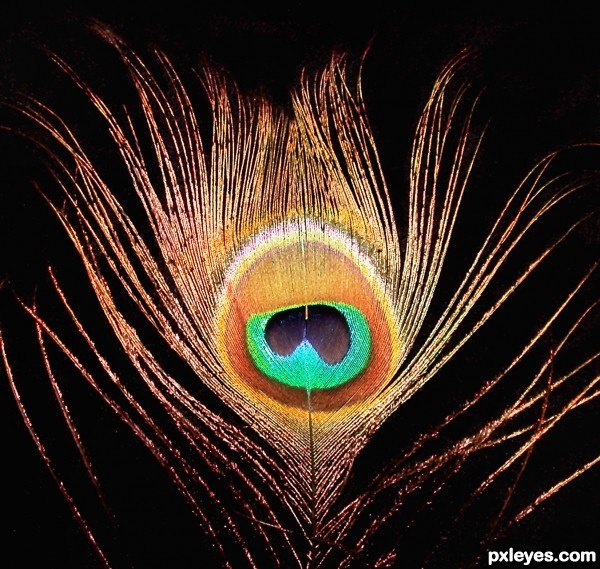 Beautiful Rare Peacock Feather