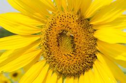 sunflowerbeewormunedited