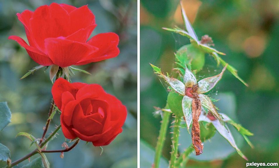 Red rose - dead rose