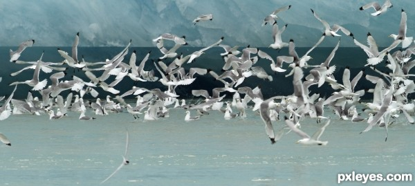 Gulls in front of Glacier