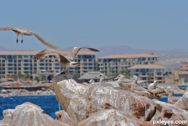 Mexican Gulls