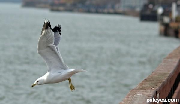 Seagull in Wyandotte