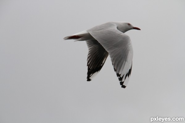 Seagull on overcast day