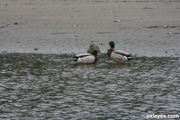 A Quack on the Beach