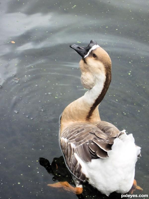 The Odd Goose