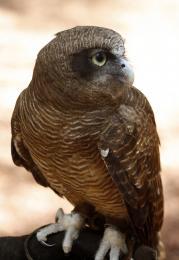 RufousOwl