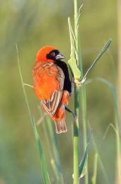 Theredbird