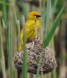 Theyellowbird