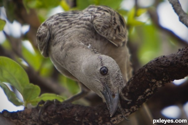 Great Bower Bird