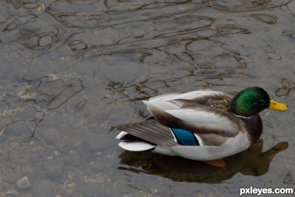 Here Ducky ducky!!