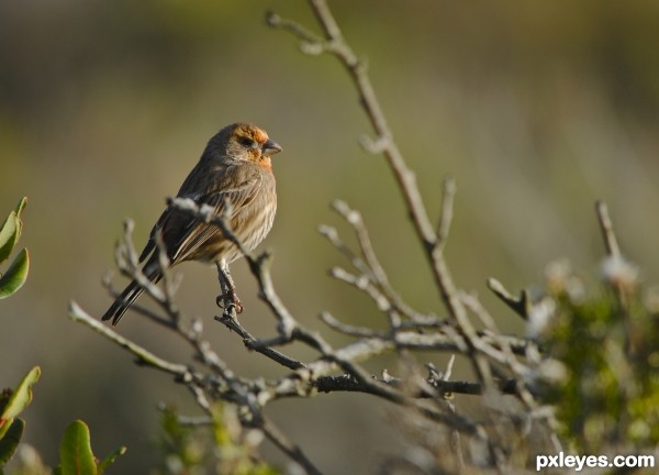 Orange House Finch