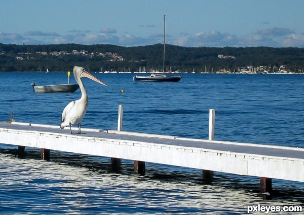 Pelican on a sunny day