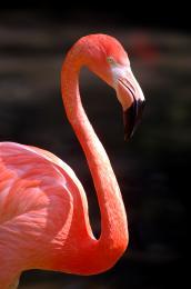 Pinkflemmish