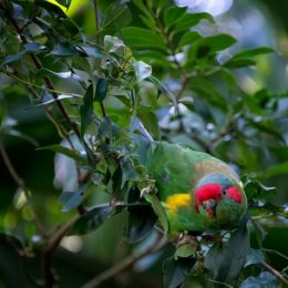 Cheekymusklorikeet