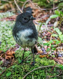 Stewart Island Robin
