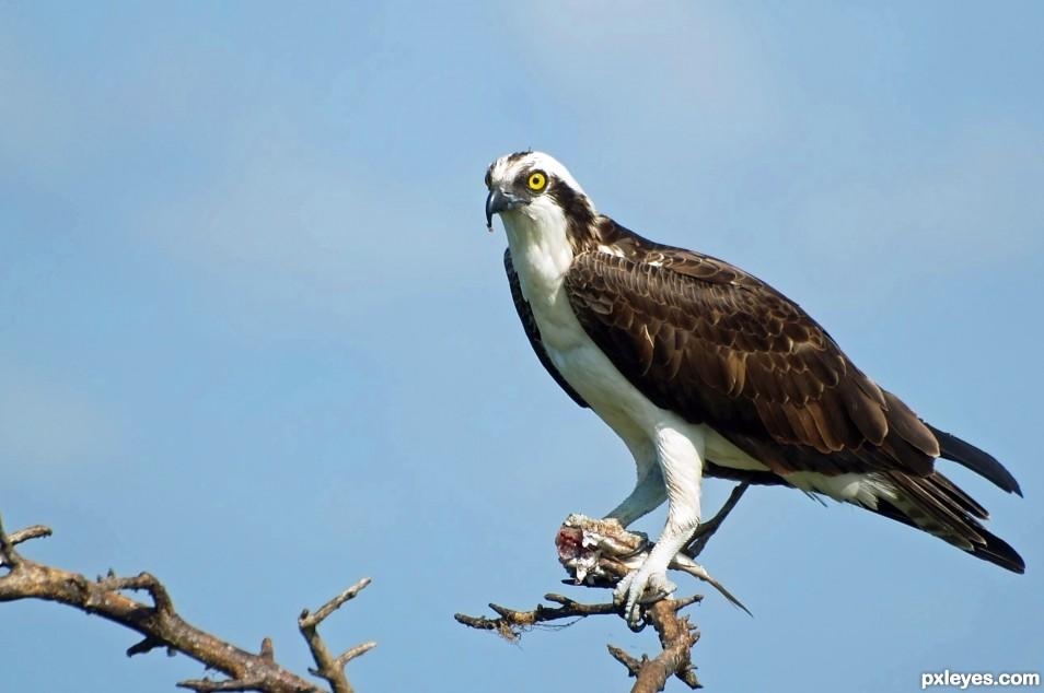 An Ospreys lunch