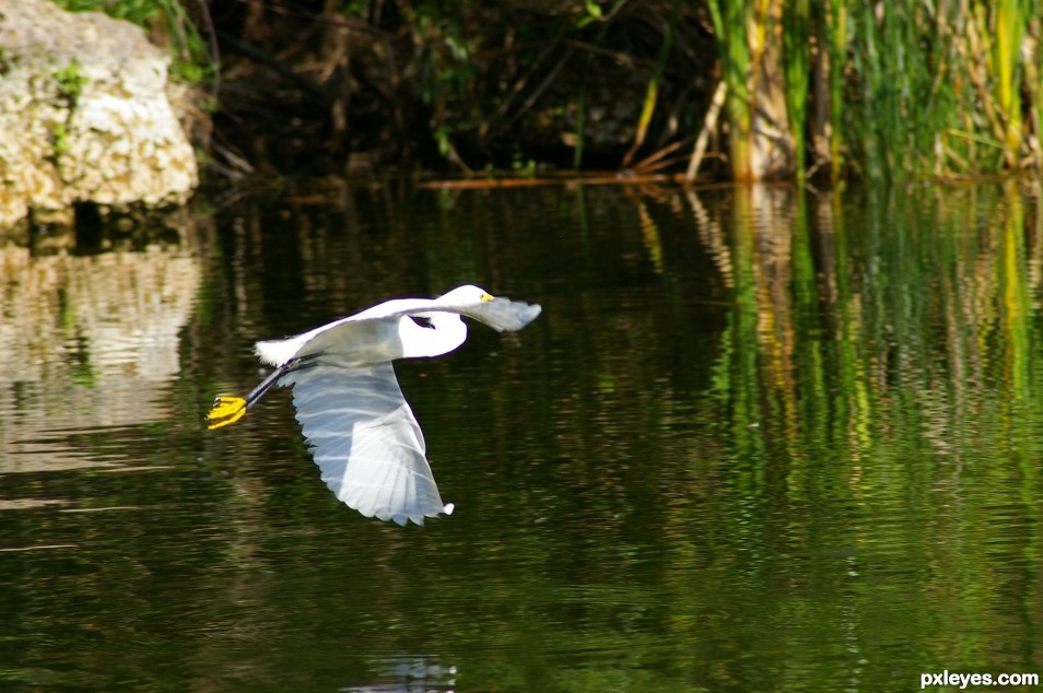 Egret over the water
