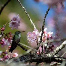 Atiredhummingbird